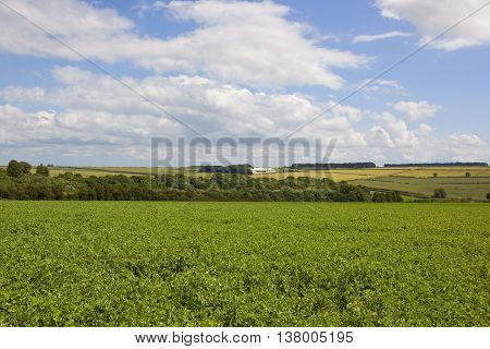 Yorkshire Wolds Pea Fields
