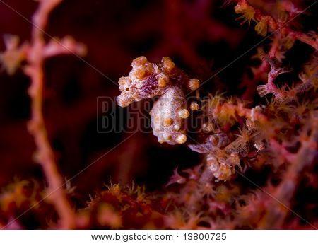Zwerg-Seepferdchen-Seitenansicht