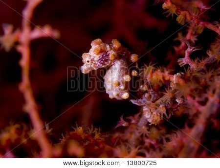 Pygmy Seahorse Side Profile