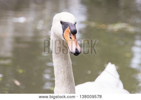 white bird swan floating in the water