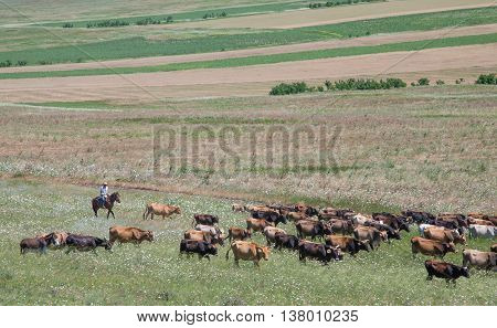 cows on the field being led by a horseman