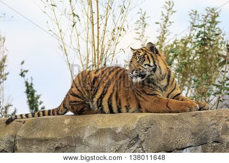Beautiful and endangered Sumatran Tiger on a rock