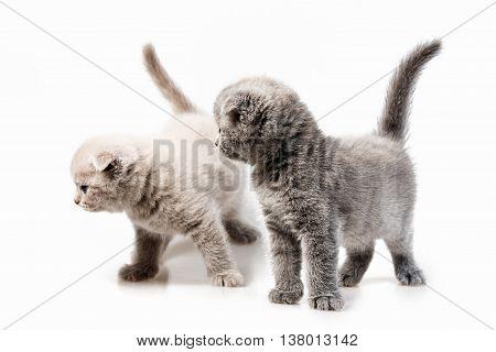 British Lop-eared Kitten