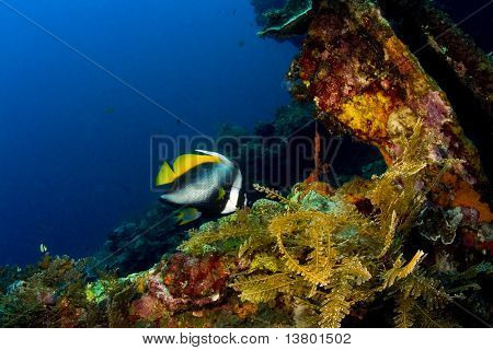 Singular Bannerfish On The Liberty Wreck