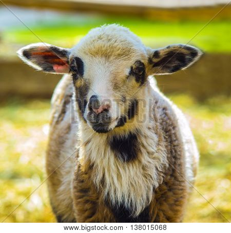 lamb. Farm animals lamb. Animal lamb. The animal farm lamb. White lamb looking at the camera.