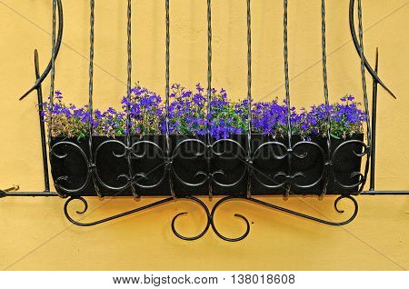 Flowers of Lobelia - in Latin Lobelia Erinus - in the wrought metal pot attached to the wall