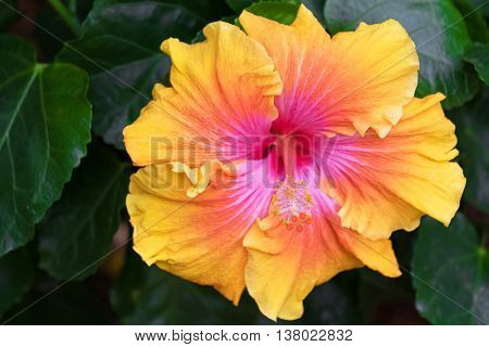 Closeup of Hibiscus flower (China Rose) in Yellow orange and pink shade in the garden in Australia