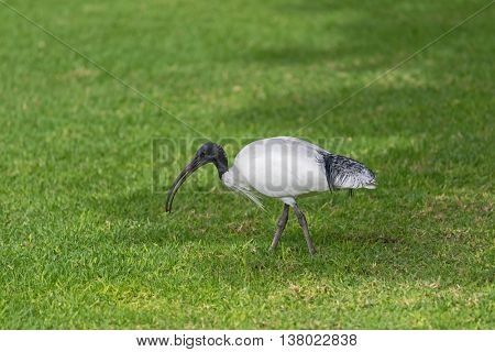 Australian White Ibis with white plumage and black head walking on green grass in the afternoon in South Australia.