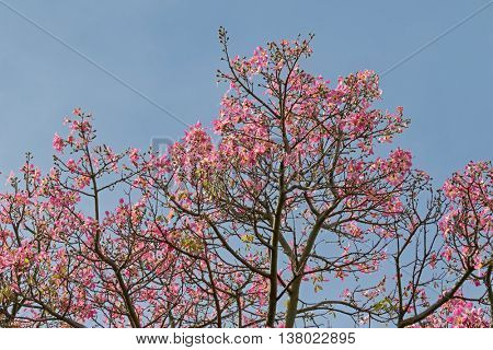 View of pink flowers from Silk Floss tree against blue sky during Autumn in South Australia
