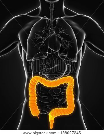 Human Colon Anatomy Illustration . 3D render