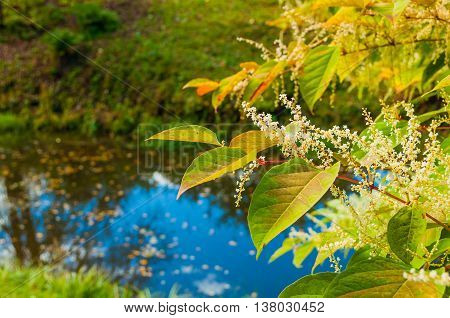 Autumn landscape - yellowed leaves and white flowers of Fallopia sachalinensis on the background of blue water pond under autumn sunlight. Soft focus processing