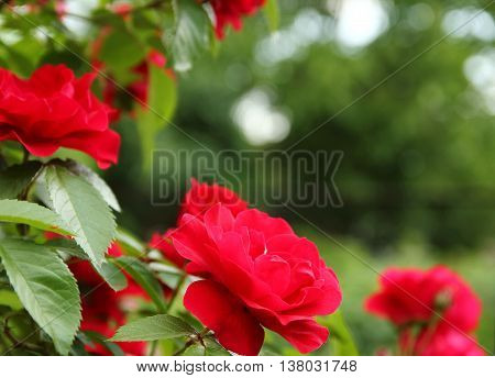 a very beautiful branch of flowers roses