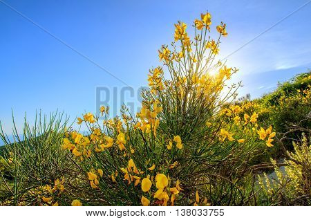Mountain yellow flower close-up in Monte Epomeo Ischia Italy