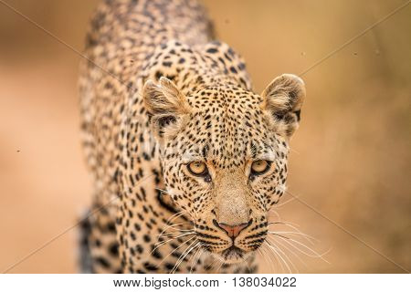 Leopard Starring At The Camera.0