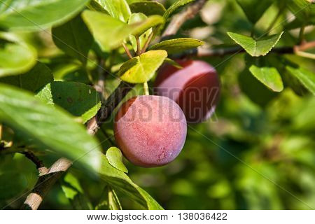 Two plums on the plum tree branch in the garden