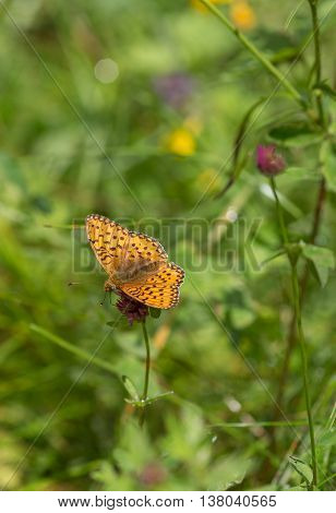 A butterfly (High Brown Fritillary) in the grass,