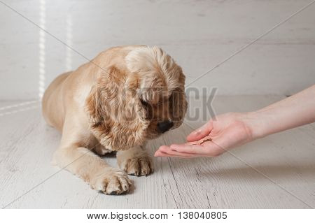 Woman owner feeding American cocker spaniel with hands in home. Dog lying on light background.