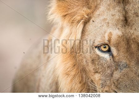 Eye Of A Lion In The Kruger National Park.