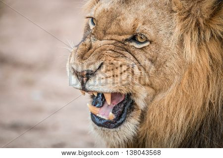 Growling Lion In The Kruger National Park.