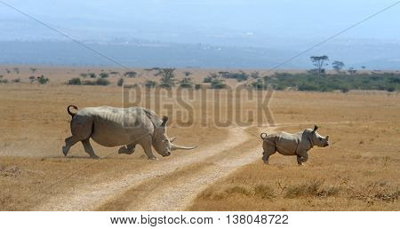 Rhino On Savannah In Africa