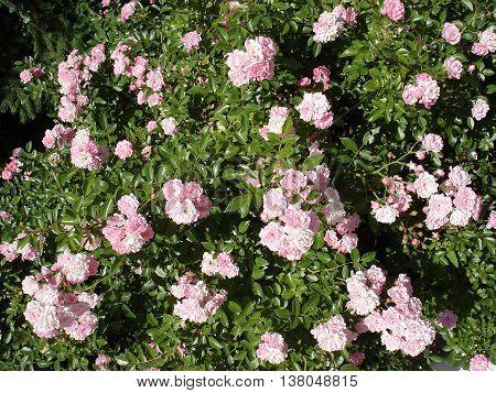 Polyantha rose light pink flowers 'The Fairy'.