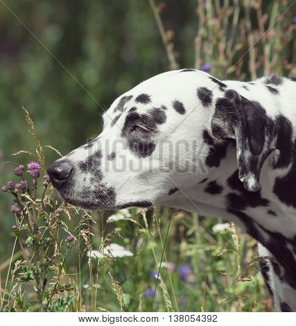 Toned portrait of a cute dog dalmatian smelling the flower
