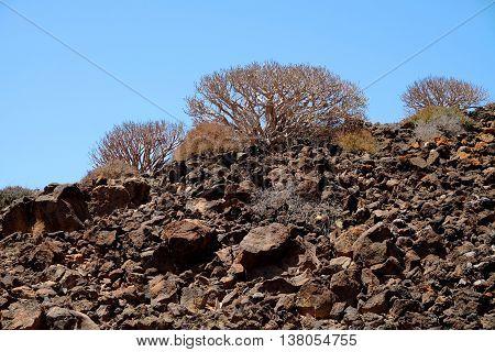 Euphórbia balsamifera on a volcanic rock on the island Lobos Spain.