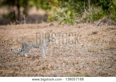 Baby Leopard Walking In The Grass