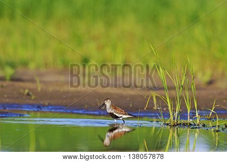 Dunlin and reflection in the water, summer, water, marsh bird sits