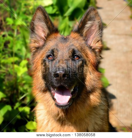 CLose-up portrait of Young Fluffy Dog Breed German Shepherd lying in the garden outdoor. Pet outside