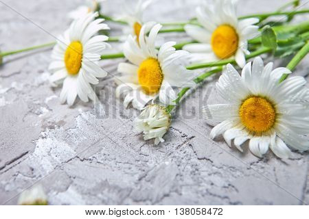 beautiful Daisy on gray concrete background. Summer card with chamomile