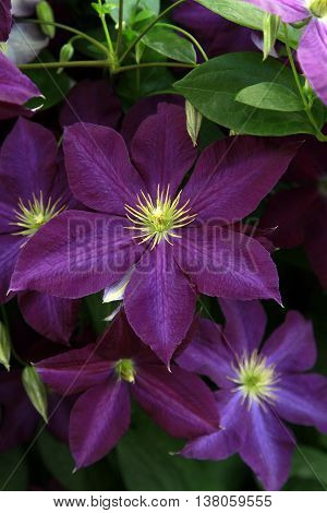Close up of Purple Clematis on a vine