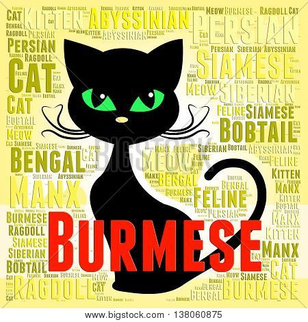 Burmese Cat Means Breeder Breed And Domestic