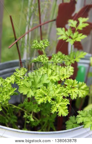 Small Parsley Plant