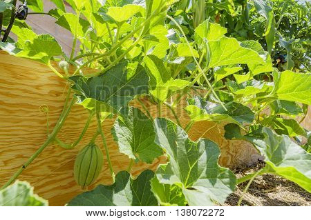 Growing melon in farm garden at Los Angeles
