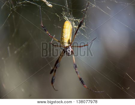 A golden silk orb-weaver awaiting its next meal. Taken in Myakka River State Park, Florida.