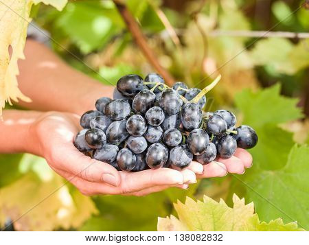 Purple grape in the hands. Nature on the background.
