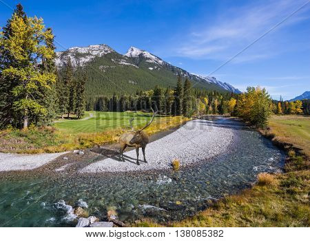 Autumn day in Canadian Rockies. Red deer with branched antlers standing on a rocky shoal creek
