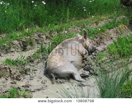 Piggy on the wallow