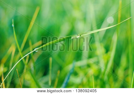 Fresh green grass with dew drops. Nature Background