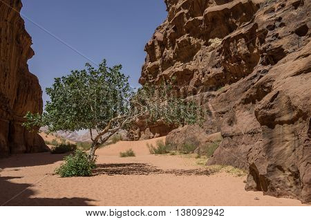 Green Tree In Desert. Barrah Canyon. Wadi Rum (valley Of The Moon), Jordan. Unesco World Heritage.