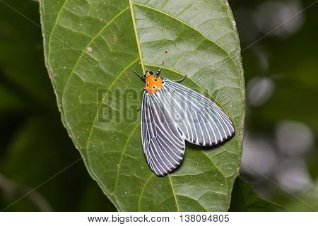 Neochera Dominia Moth
