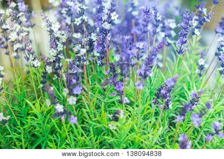 Growing lavender flower In a field at sunset. Lavender flower with shallow depth of field. Done with vintage retro filter.