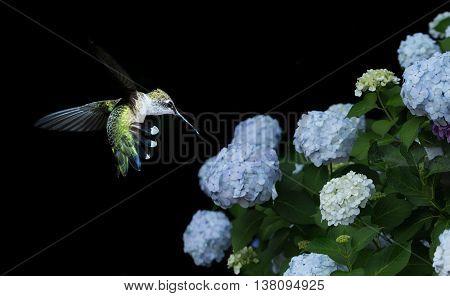 Hummingbird (archilochus colubris) and Hydrangea Macrophylla Hamburgpa