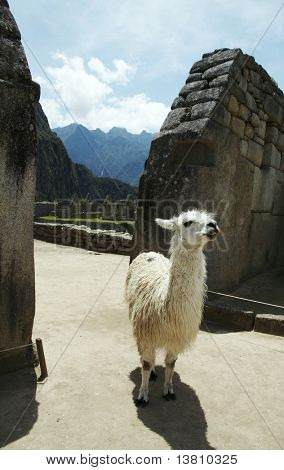 Llama in the grassland in lost city Machu-Picchu