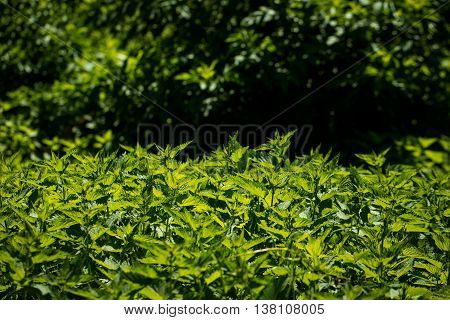 Stinging nettle young plants in bright sunlight on wild green meadow background