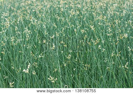 papyrus plants in the field for background