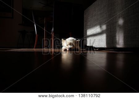 Moody, atmospheric image of white westie dog sunbathing in a shaft of light in an otherwise dark room. Note that the floor is dirty with dust and fur.