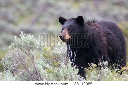 Female American Black Bear (Ursus americanus) in Yellowstone National Park in Wyoming USA