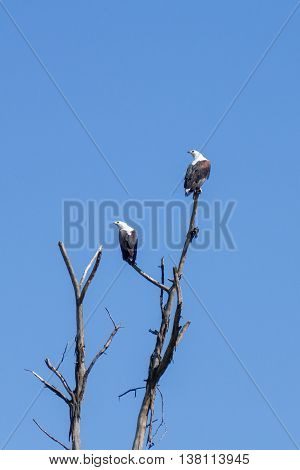 Eagles on the branches of a leafless tree